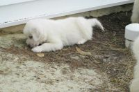 Great Pyrenees Puppies for sale in Chambersburg, PA, USA. price: NA