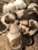 Great Pyrenees Puppies for sale in Auburn, IN 46706, USA. price: NA