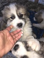 Great Pyrenees Puppies for sale in Lumberton, NC, USA. price: NA