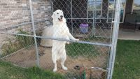 Great Pyrenees Puppies for sale in Crowley, TX, USA. price: NA