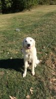 Great Pyrenees Puppies for sale in Spencer, IN 47460, USA. price: NA