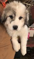 Great Pyrenees Puppies for sale in Minerva, OH 44657, USA. price: NA