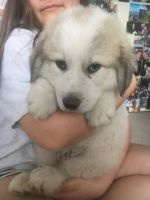 Great Pyrenees Puppies for sale in Waller, TX 77484, USA. price: NA