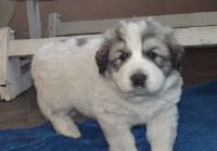 Great Pyrenees Puppies for sale in Raleigh, NC, USA. price: NA