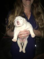 Great Pyrenees Puppies for sale in Philadelphia, MS 39350, USA. price: NA