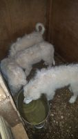 Great Pyrenees Puppies for sale in Atlanta, GA, USA. price: NA
