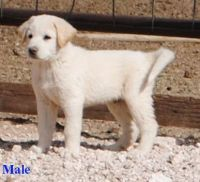 Great Pyrenees Puppies for sale in Willard, NM, USA. price: NA