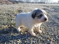 Great Pyrenees Puppies for sale in Batesville, IN 47006, USA. price: NA
