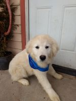 Great Pyrenees Puppies for sale in Portland, OR, USA. price: NA