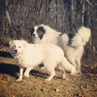 Great Pyrenees Puppies for sale in WILOUGHBY HLS, OH 44094, USA. price: NA