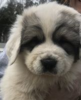 Great Pyrenees Puppies for sale in Holly Springs, NC, USA. price: NA