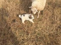Great Pyrenees Puppies for sale in Yadkinville, NC 27055, USA. price: NA