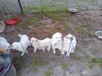 Great Pyrenees Puppies for sale in Millen, GA 30442, USA. price: NA