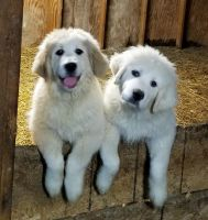 Great Pyrenees Puppies for sale in Mt Orab, OH 45154, USA. price: NA
