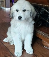 Great Pyrenees Puppies for sale in Seattle, WA, USA. price: NA