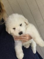 Great Pyrenees Puppies for sale in Harlingen, TX, USA. price: NA
