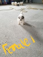 Great Pyrenees Puppies for sale in 11485 S 975 E, Clarks Hill, IN 47930, USA. price: NA