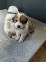 Great Pyrenees Puppies for sale in Lester Prairie, MN 55354, USA. price: NA