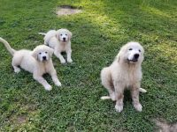 Great Pyrenees Puppies for sale in Braxton County, WV, USA. price: NA