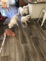 Great Pyrenees Puppies for sale in Muskingum County, OH, USA. price: NA