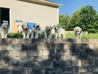 Great Pyrenees Puppies for sale in Madison, OH 44057, USA. price: NA