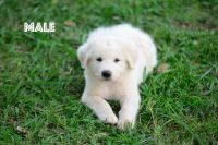 Great Pyrenees Puppies for sale in Pendleton, SC 29670, USA. price: NA
