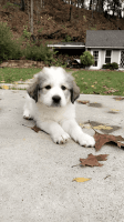 Great Pyrenees Puppies for sale in West Springfield, MA, USA. price: NA