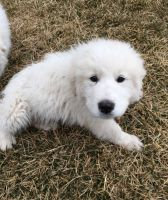 Great Pyrenees Puppies for sale in Sherman, TX, USA. price: NA