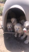 Great Pyrenees Puppies for sale in Price, UT 84501, USA. price: NA