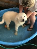Great Pyrenees Puppies for sale in Hamilton, GA 31811, USA. price: NA