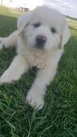 Great Pyrenees Puppies for sale in Mahomet, IL, USA. price: NA