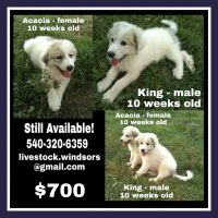 Great Pyrenees Puppies for sale in Wytheville, VA 24382, USA. price: NA