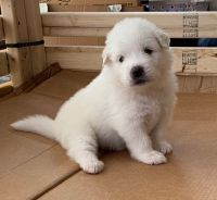 Great Pyrenees Puppies for sale in Barboursville, WV, USA. price: NA