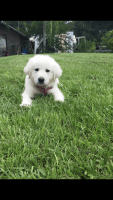 Great Pyrenees Puppies for sale in Tampa, FL, USA. price: NA