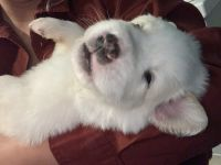 Great Pyrenees Puppies for sale in San Jacinto, CA, USA. price: NA