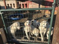 Great Pyrenees Puppies for sale in Dayton, NV, USA. price: NA