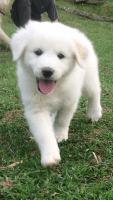 Great Pyrenees Puppies for sale in Dawson, WV 24910, USA. price: NA