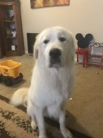 Great Pyrenees Puppies for sale in Fort Bragg, NC, USA. price: NA