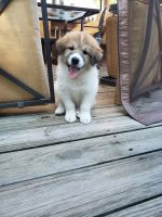 Great Pyrenees Puppies for sale in Clarksville, IN 47129, USA. price: NA