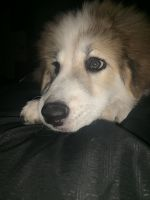 Great Pyrenees Puppies for sale in Fort Worth, TX, USA. price: NA