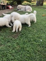 Great Pyrenees Puppies for sale in Gurdon, AR 71743, USA. price: NA
