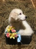 Great Pyrenees Puppies for sale in Diamond, OH, USA. price: NA