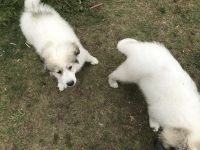 Great Pyrenees Puppies for sale in Mio, MI 48647, USA. price: NA