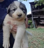 Great Pyrenees Puppies for sale in Hiltons, VA 24258, USA. price: NA