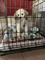 Great Pyrenees Puppies for sale in 712 Questover Ln, Creve Coeur, MO 63141, USA. price: NA