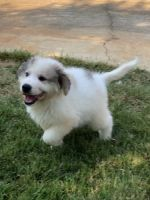 Great Pyrenees Puppies for sale in Siler City, NC 27344, USA. price: NA