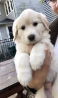Great Pyrenees Puppies for sale in Wooster, OH 44691, USA. price: NA
