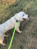 Great Pyrenees Puppies for sale in Hurst, TX, USA. price: NA