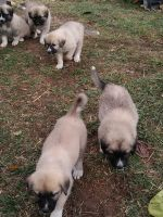 Great Pyrenees Puppies for sale in Camden, OH 45311, USA. price: NA