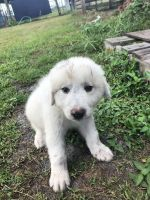Great Pyrenees Puppies for sale in Frostproof, FL 33843, USA. price: NA
